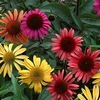 click here for<br>CONEFLOWERS AVAILABLE NOW