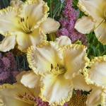daylily Marque Moon