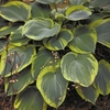 Earth Angel<br>HOSTA OF THE YEAR 2009