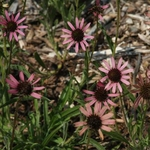 """coneflower Rocky Top [30""""]<br>^^^ SOLD OUT ^^^"""