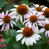 """echinacea Rosita [14""""]<br>^^^SOLD OUT^^^"""