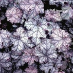 """heuchera Can Can [9""""]<br>^^^ SOLD OUT ^^^"""