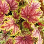 """heuchera Picasso [12""""]<br>^^^ SOLD OUT ^^^"""