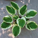 hosta Blazing Saddles<br>{LINER}
