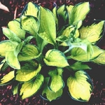 hosta Rainforest Sunrise<br>{LINER}