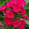 "phlox Flame Red [16""]"