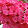 """phlox Party Punch [30""""]"""
