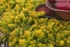 """sedum Angelina [5""""]<br>^^^ SOLD OUT ^^^"""