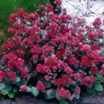 "sedum Red Cauli [12""]<br>^^^ SOLD OUT ^^^"