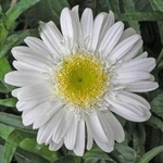 "shasta daisy Highland White Dream [30""]<br>^^^ SOLD OUT ^^^"