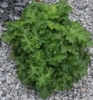 shop all<br>GREEN HEUCHERA