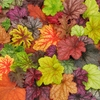 shop available<br>Heuchera