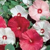 shop<br>HARDY HIBISCUS