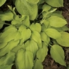 shop more<br>GOLD hostas