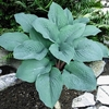 shop more<br>BLUE hostas