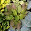 shop more<br>RED hostas