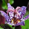 tricyrtis Dark Beauty<BR>^^^COMING SOON^^^