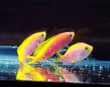 Barletts Anthias Trio