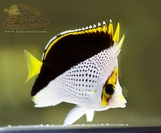 Tinkers Butterfly (Chaetodon tinkeri)
