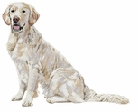 golden122 Golden Retriever  (small or large design)