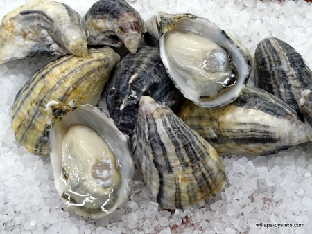 """""""Precious"""" Pacific Oysters"""