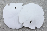 Arrowhead Sand Dollars