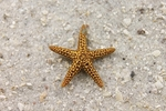 Brown Starfish
