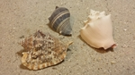 Conch Seashells