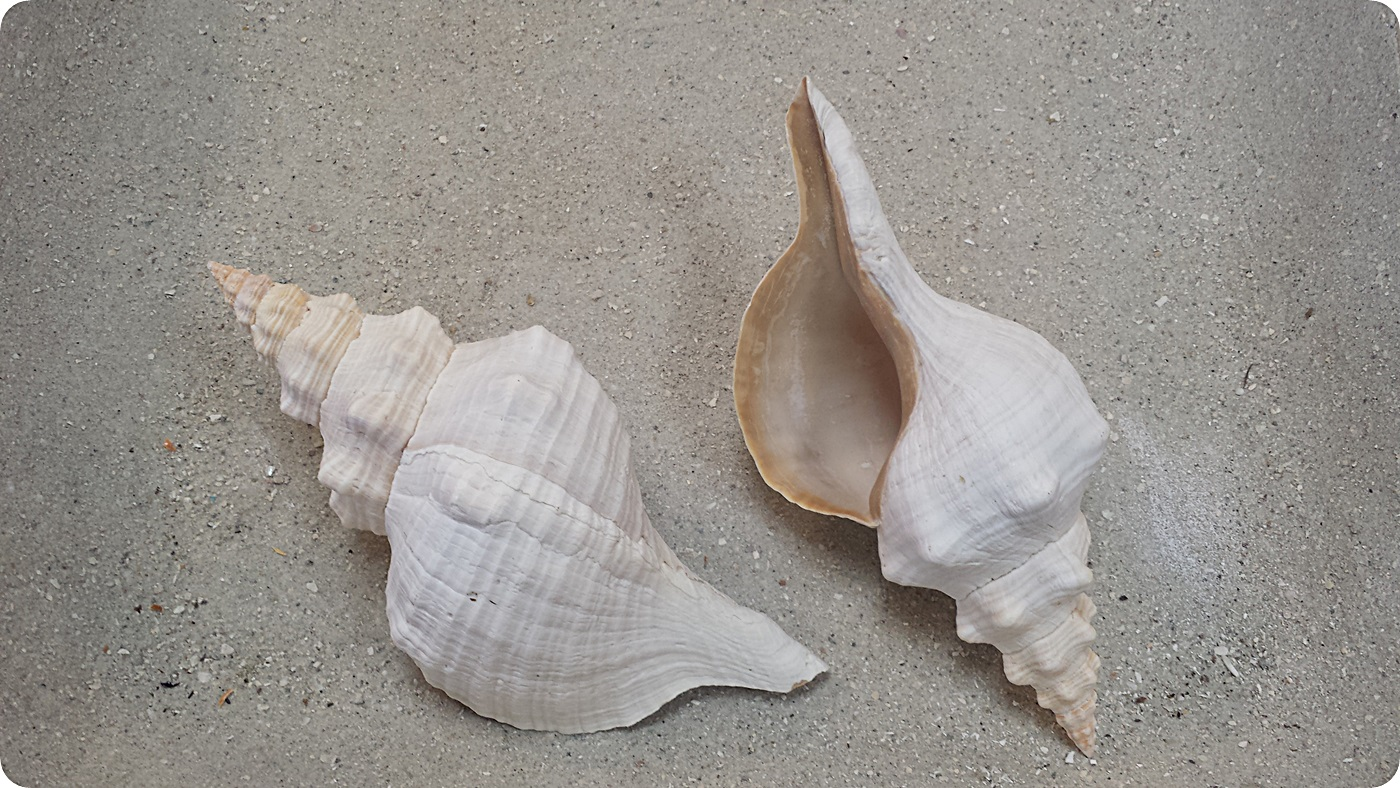 how to find conch shells