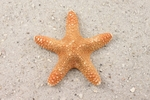 Jungle Starfish