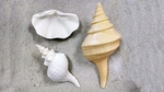 Large Decorative Shells
