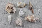 "Medium and Large BULK shells OVER 1"" long"