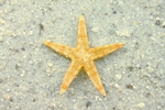 Tan Starfish