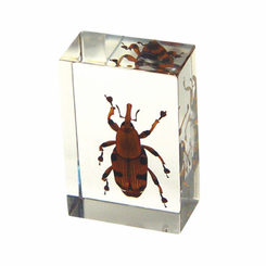 Bamboo Weevil  Paperweight