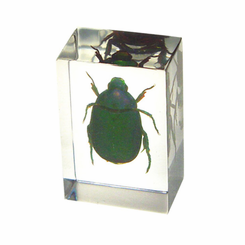 Chafer Beetle Paperweight