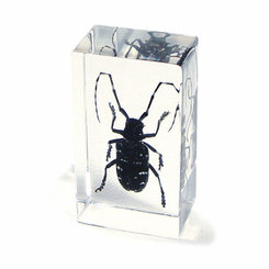 Citrus Longhorned Beetle  Paperweight