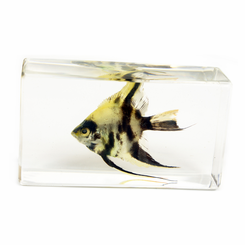 Clear Angel Fish Medium Paperweight