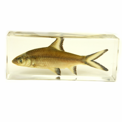 Clear Bala Shark Large Paperweight