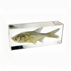 Clear Bighead Carp Large Paperweight