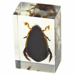 Clear Great Diving Beetle Paperweight