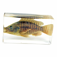 Clear Nile Tilapia Medium Paperweight
