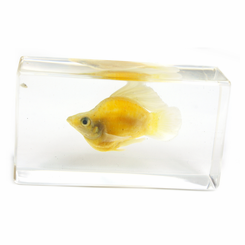 Clear Sailfin Molly Medium Paperweight