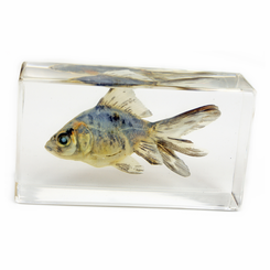 Clear Shubunkin Goldfish Medium Paperweight