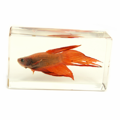 Clear Siamese Fighting Fish Medium Paperweight