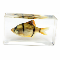 Clear Tiger Barb Medium Paperweight