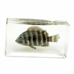 Clear Zebra Tilapia Medium Paperweight