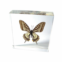 Five Bar Swordtail Butterfly Paperweight