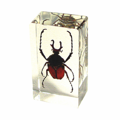 Antler Horned Beetle  Paperweight