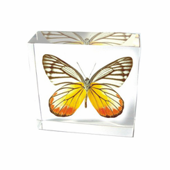 Painted Jezebel Butterfly Paperweight