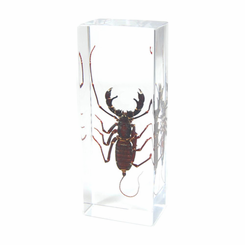 Whip Scorpion Paperweight